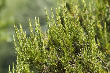 Rosemary ( Rosmarinus Officinalis)