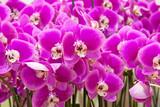 Fototapety orchidées Phalaenopsis