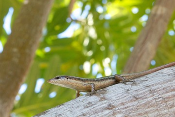 Closeup shot of an endemic Seychelles skink