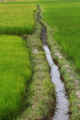 Green rice paddy field with irrigation canal