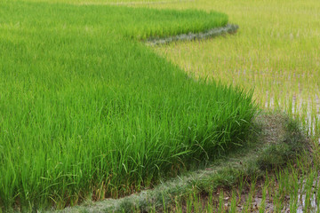 Green rice paddy field terrace in Asia