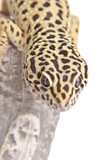 Gecko portrait closeup
