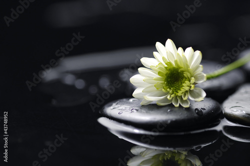 Foto op Canvas Madeliefjes Still life with white chrysanthemum flowers and zen stones