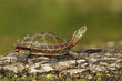Midland Painted Turtle (Chrysemys picta marginata) on a Log