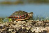 Midland Painted Turtle (Chrysemys picta marginata) on a Log poster