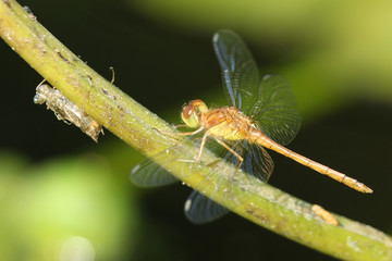 Male Autumn Meadowhawk (Sympetrum vicinum) with Exoskeleton