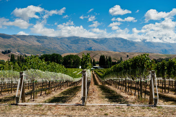 Vineyard in Central Otago, New Zealand