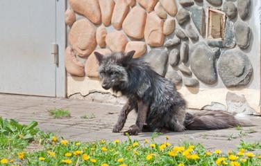 A silver fox (V. Vulpes)