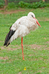 A white stork (C. Ciconia)