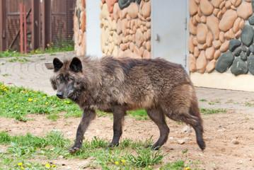 Alaskan wolf (C. Lupus pambasileus)