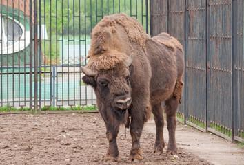 A wisent (Bison bonasus)