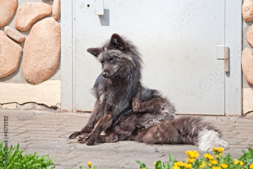A silver fox (V. Vulpes) scratches itself