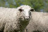 white sheep (ovis aries)