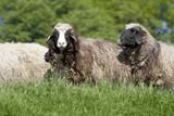 group of sheep (ovis aries)