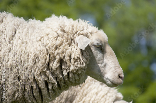 white sheep (ovis aries)