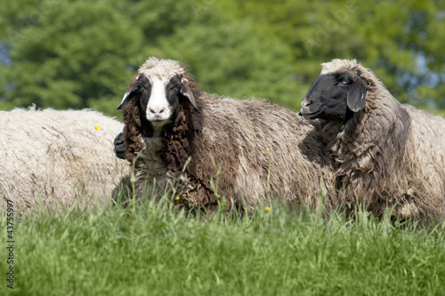 group of sheep (ovis aries)