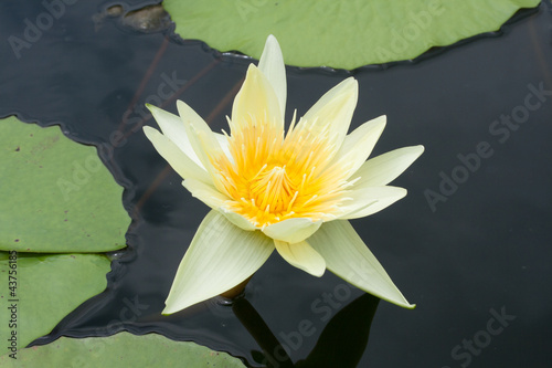 Beautyful yellow lotus is swamp.