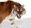 Fototapeten,tiger,tigerin,tigris,panthera