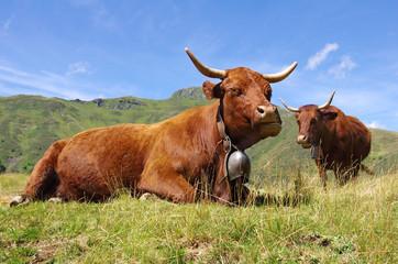 Vaches salers dans les montagnes cantaliennes