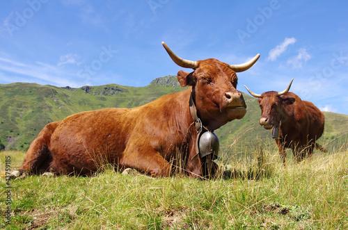 Keuken foto achterwand Koe Vaches salers dans les montagnes cantaliennes