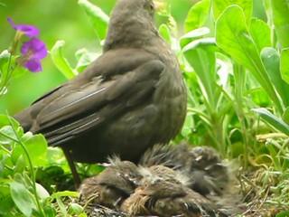 Amsel Mutter mit 3 Jungtieren im Nest (12 Tage alt)