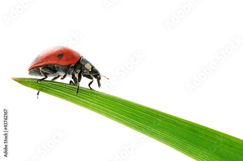 ladybird on green leaf isolated on white background