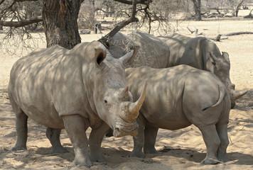 Nashorn, Rhinozeross, Nashornguppe