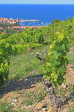 Vigne catalane - Fine Art prints