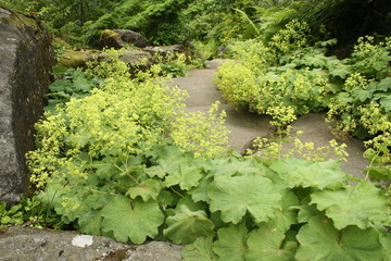 alchemilla vulgaris growing in rock garden