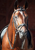 portrait of beautiful dressage horse