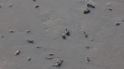 Live crabs scattering on swamp