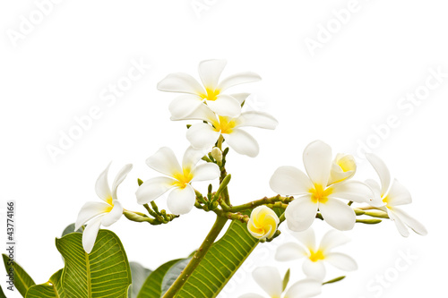 White frangipani on white background