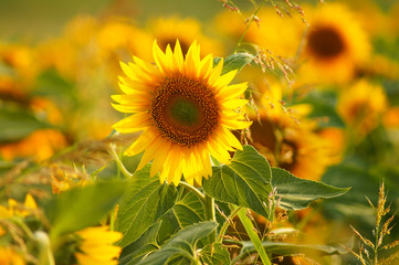 Beautiful sunflower in the field of the sunflowers