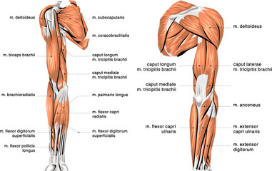 human arm muscles