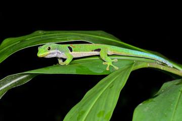 peacock day gecko, phelsuma quadriocellata