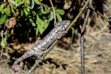 oustalet's chameleon, anja