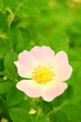A Pink Wild Rose Flower Against Green Leaves Background