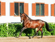 galloping bay sportive amazing stallion  in open manege