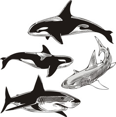 sharks and killer whales
