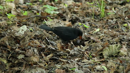 Blackbird is looking for insects under the leaves