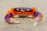 Tropical Land Crab in Costa Rica