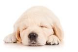 Sleeping puppy retriever