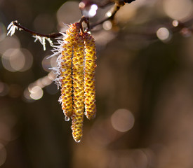 willow catkins in the ice