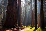 Fototapety Sequoia National Park