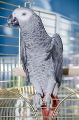 Papagallo parlante