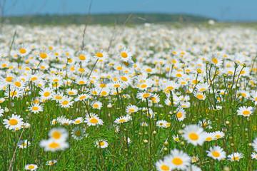 beautiful field of daisies