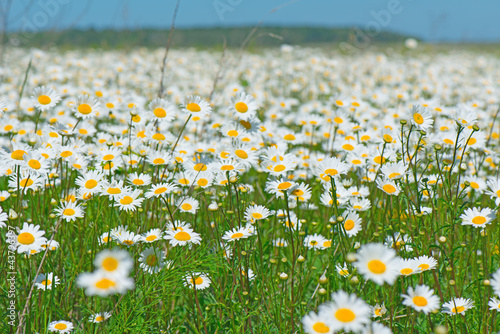 beautiful field of daisies