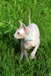 Sphynx cat on grass