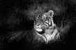 Fototapeten,tiger,bengal,tier,natur