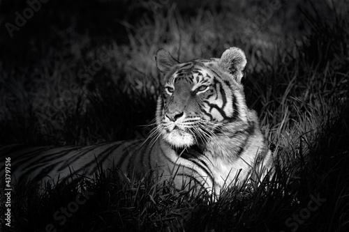 monochromatyczny-obraz-tygrysa-bengalskiego